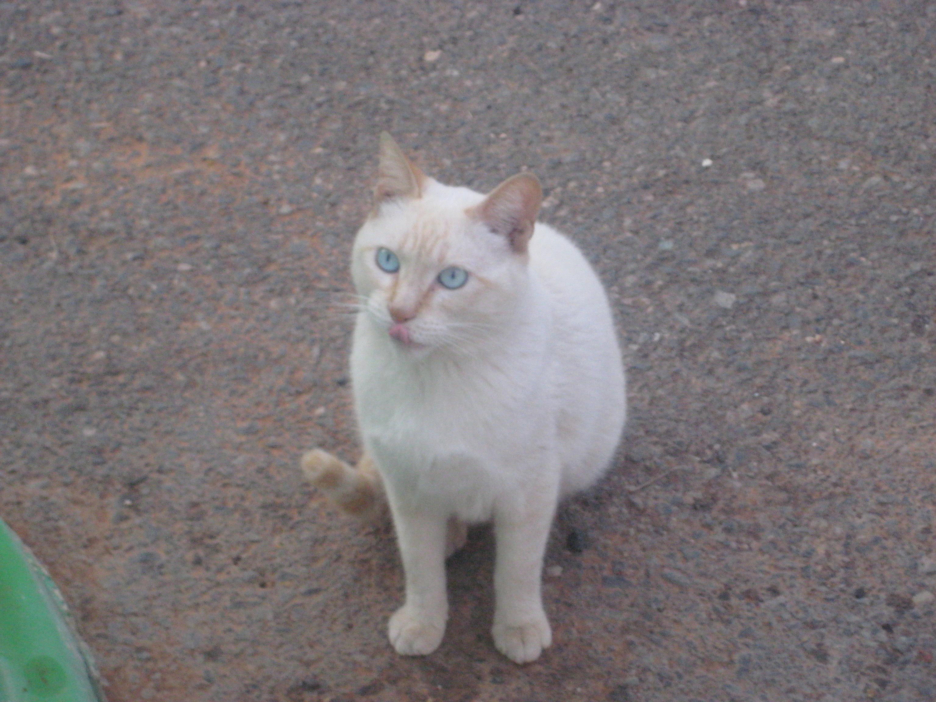 vit katt med blå ögon