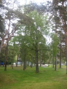 Trädet bland träd