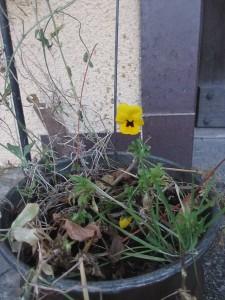 Penseer blommar 1 december 2013