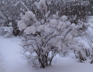 Snöig buske