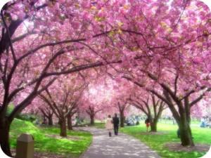 Japan körsbärsblom