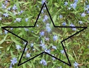 Scilla med stjärna