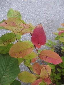 Löven börjar bli röda