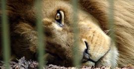 Ledset lejon i bur