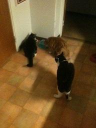 Tre katter inne 18 sept 14 - under kan hända!