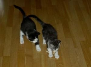 Felix och Curry kattungar
