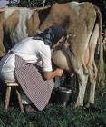 Mjölka ko