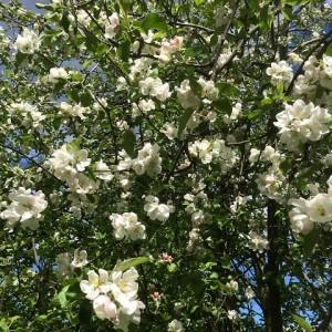 Blommande äppelträdet Hjördis