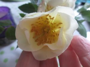Gul kinesisk ros från 44an