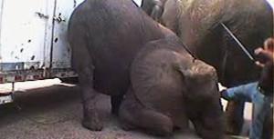 Elefant får spö