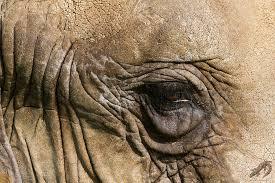 Elefantens öga