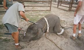 Elefantunge veganismen wordpress