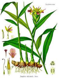 Ingefära växt