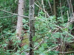 SNårig skog