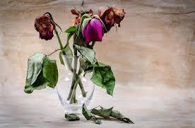 vissna-rosor